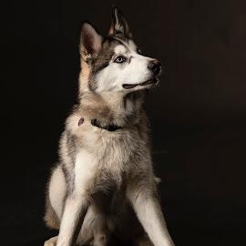 Nanook by Anthony Wood - Animals - Dogs Portraits ( malamute, husky, portraite, wolf, studio animal, dog )