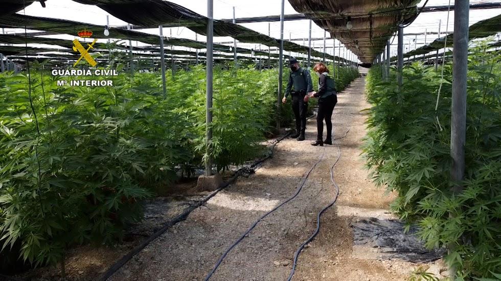 Grandes explotaciones con plantas ilegales.