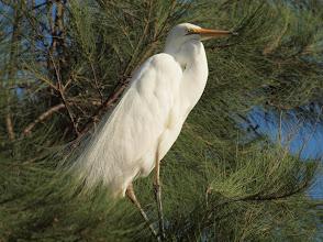 Photo: Eastern Great Egret