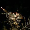 Black Coral Crab