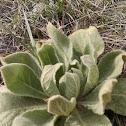 Common Mullien