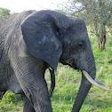 elephant female