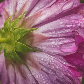After The Rain by Chris Cavallo - Flowers Single Flower ( green, dew, pink flower, flower, water drops, stem,  )