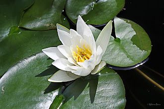 Photo: ...white water lily...  One of my very old photos of this lovely flower, but still one of my favorites...  #canonusers   #canon #canonphotographers   #canonphotography , +Canon Users;#promotephotography +Promote Photography; #photography #PlusPhotoExtract  #flowers     #floral  #10000photographers +10000 PHOTOGRAPHERS by +Robert SKREINER; #hqspflowers +HQSP Flowers by +Werner Polwein, +Larry Henley and +Nicole Best   New addition to my Web Store in Europe: http://www.artflakes.com/en/products/white-water-lily-6