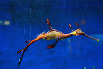 Photo: Year 2 Day 103 -   Sea Dragon at Underwater World