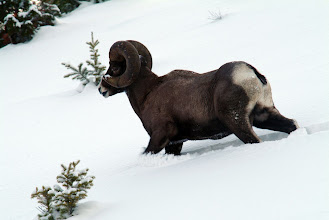 Photo: Big Horn Sheep in Yellowstone National Park, Wyoming