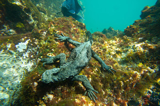 Photo: Marine iguana feeding on seaweed underwater in the Galapagos Islands, Ecuador.