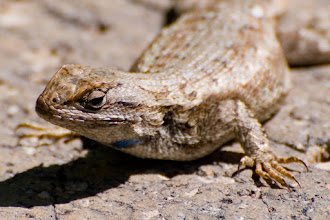 Photo: Lizard on stone wall  06/08