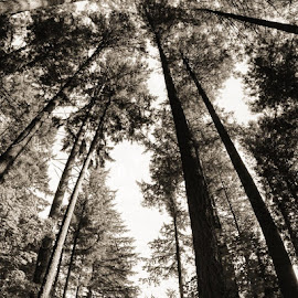 Tall Trees by Ernie Kasper - Instagram & Mobile iPhone ( naturelovers, peaceful, black and white, beautiful, forest, upward, relaxing, panorama, sky, nature, trunks, nature up close, bnw )