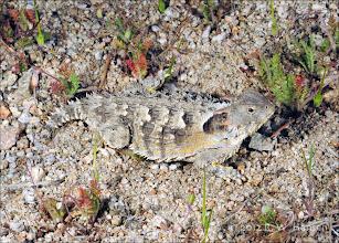 Photo: Horned Lizard - Hansen