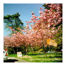 Photo: Last of the cherry blossoms, Seattle, 2012