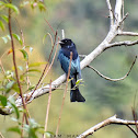Hair-Crested Drongo / केशराज चिबे
