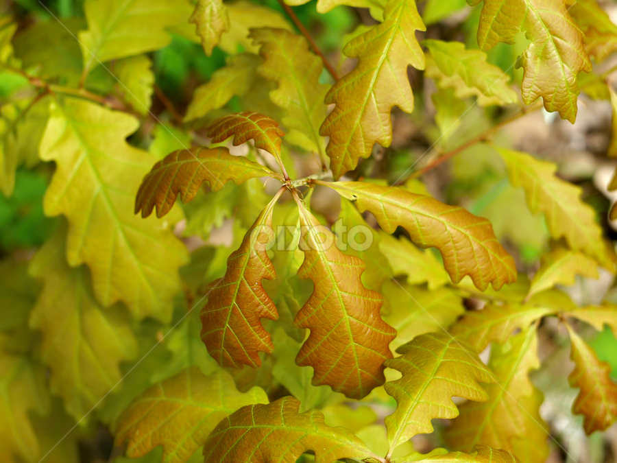 Young oak leaves by Petr Podroužek - Nature Up Close Leaves & Grasses ( detail, nature, oak, yellow, leaves )