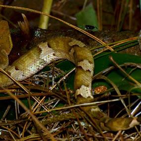 Trimeresurus puniceus (Kuhl, 1824) by Willy Ekariyono - Animals Reptiles ( indonesia snakes, endemic sunda, rare, snake, willy ekariyono, ular badotan pohon )