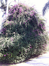 Photo: Yet another Iron and Wine reference: a Bougainvillea bush.