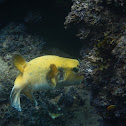 Guiea fowl puffer fish