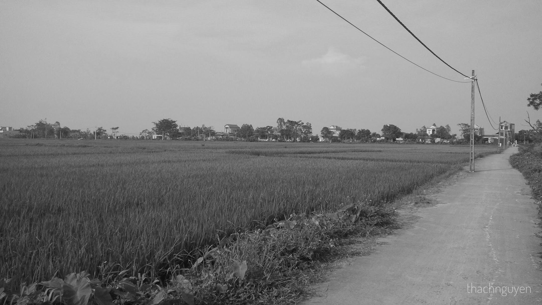 cánh đồng