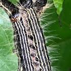 Spotted Datana Moth Caterpillar