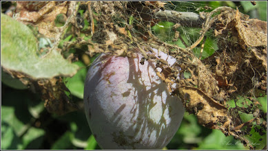 Photo: Prun (Prunus) - de pe Str. Hategului - 2017.07.10