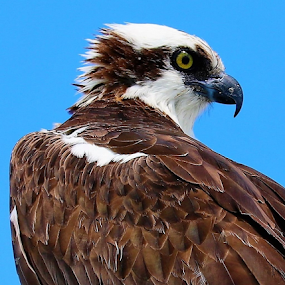 Osprey body of feathers by Paul S. DeGarmo - Animals Birds ( bird, body, feathers, osprey,  )