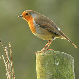 Robin on post by Joanne Calderbank  - Animals Birds ( countryside, bird, robin, catchlight in eye, red breast, on post )
