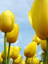Photo: Looking up at yellow tulips under a blue sky at Wegerzyn Gardens in Dayton, Ohio.
