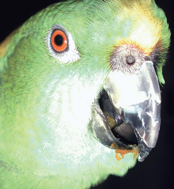 This yellow-naped Amazon has been sexually regurgitating its food to the owner, and it has some of this food on its beak