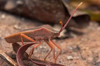 Photo: Hemiptera insect... Insecto Hemiptero...