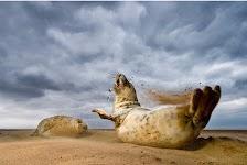 2 zeeleeuwen spelen in/met zand