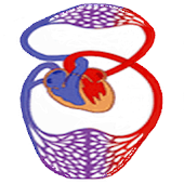 Modeling of Hemodynamics
