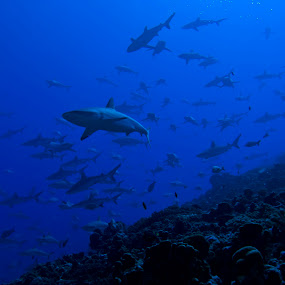 divers dream by GUILLAUME FUNFROCK - Animals Sea Creatures ( south pass, tahiti, scuba diving, fakarava, shark, bora bora,  )