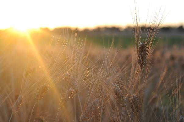 Il grano di Melo