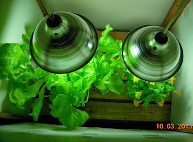 splashers under clamp lamps, 23W bulbs - there are 8 lettuce plants under left hand lamp