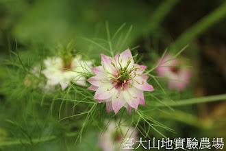 Photo: 拍攝地點: 梅峰-溫帶花卉區 拍攝植物: 黑種草 拍攝日期:2012_05_26_FY