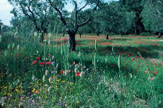 Foto: Italien, Apulien, Olivenhain, 1987 (Italy, Puglia, olive trees, 1987 © Eckhard Supp