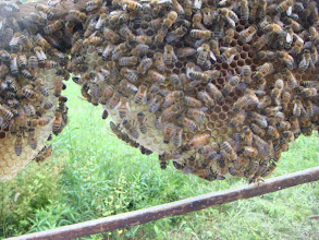 Photo: A queen and her workers on naturally drawn comb (foundationless).  This frame came out of a bait hive.