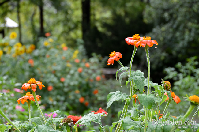 Photo: Sunflowers and zinnia dance in the garden together here in Ohio.