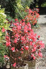 Photo: 拍攝地點: 梅峰-溫帶花卉區 拍攝植物: 秋海棠 拍攝日期: 2015_10_05_FY
