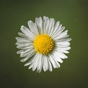 Sunny Side Up by Christopher Pischel - Flowers Single Flower ( macro, minimalism, daisy, dof, bokeh, flower )