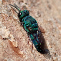 Small cuckoo wasp