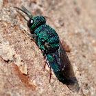 Small cuckoo wasp