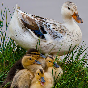 Mum and chicks by Steve BB - Instagram & Mobile Android ( bird, ducklings, park, duck, beak, fur, lake, yellow, feathers, chicks )