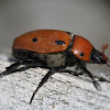 Grape Vine Beetle