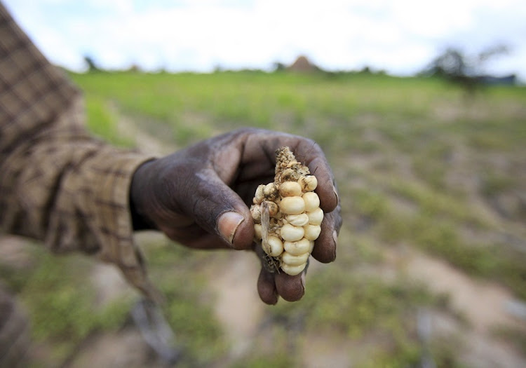 A Zimbabwean subsistence farmer holds a stunted corn cob in his field outside Harare. Picture: REUTERS