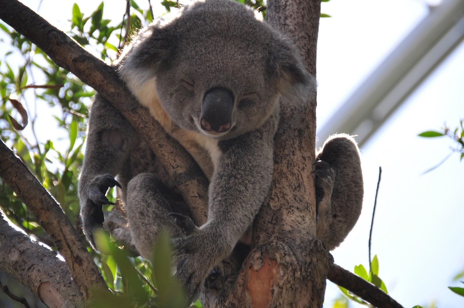 cute smiling koala sleeping on a tree in Kennett river, australia. It is one of the must-see spots along the great ocean road in victoria.