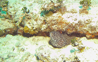 Photo: Spotted_Moray_Eel