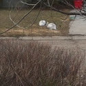 White Tailed Jack Rabbit