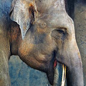 The Elephant by Franky Go - Animals Other Mammals ( elephant, dumbo, big, gajah, giant,  )