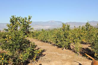 Photo: Redlands orange groves, east of town