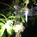 Common White Tail Dragonfly